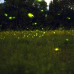 Image of Fireflies at Night